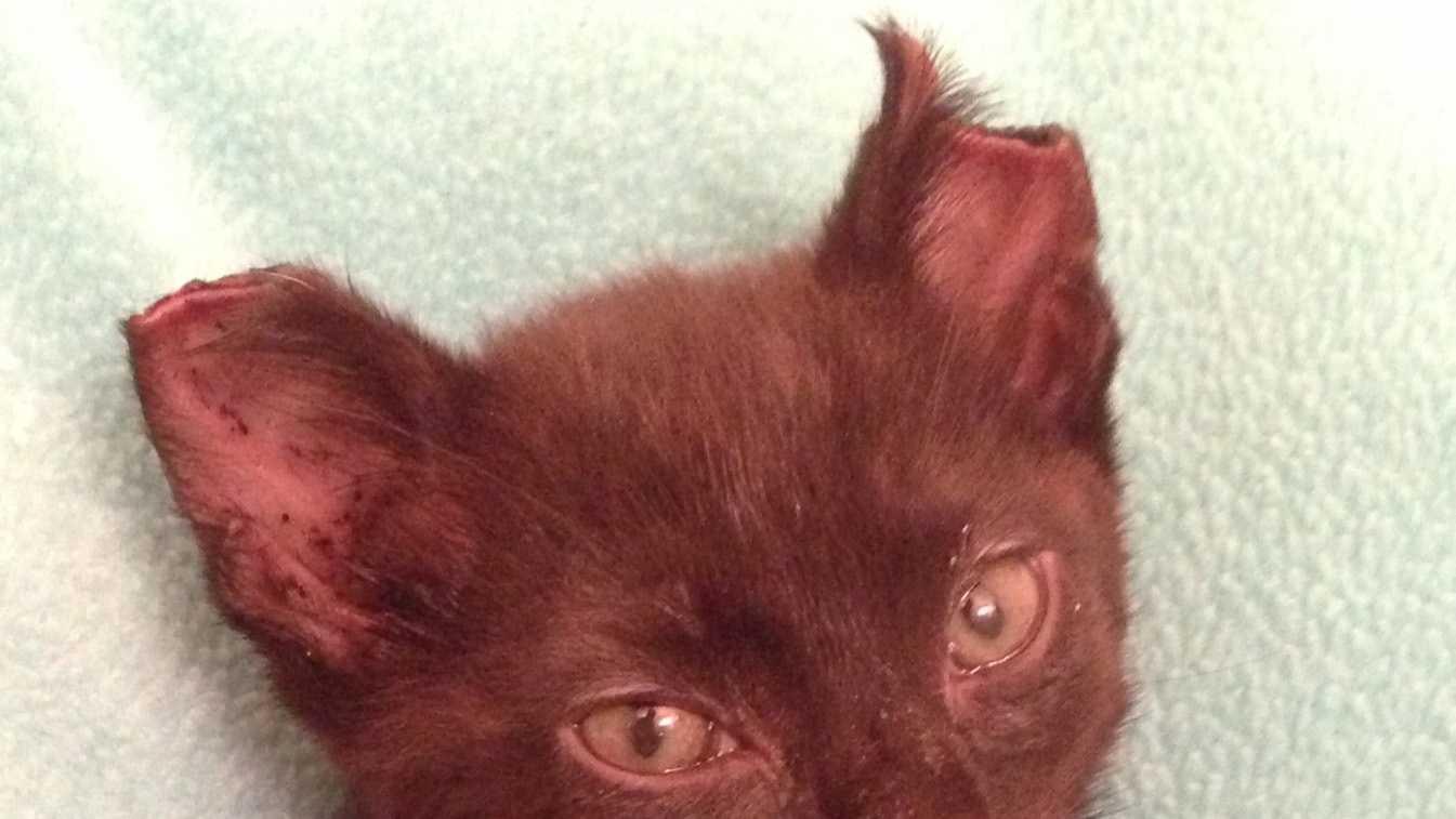 Mutilated kitten