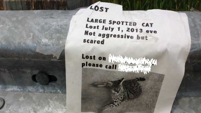 """When KCRA 3 took a tip Monday about a dead """"leopard"""" on the side of a Roseville road, a photojournalist went out to investigate and found what was actually a serval -- a large, spotted cat(Aug. 19, 2013)."""