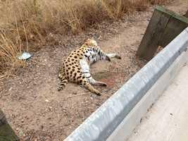 The serval was found dead near Sierra College Boulevard, near Bayside Church (Aug. 19, 2013).