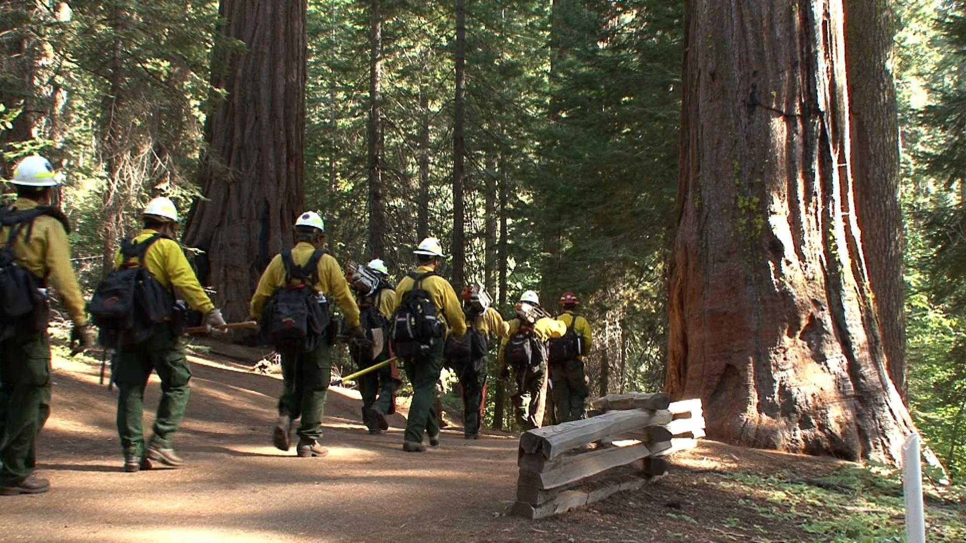 National Park Service crews enter the Tuolumne Grove of sequoias in Yosemite National Park.