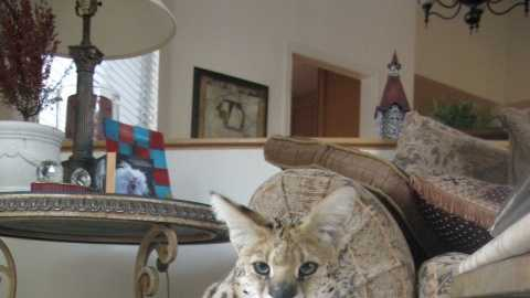 The death of Portia, an African serval cat that was found on the side of a road in Roseville earlier this month, has sparked a controversy over pet ownership.