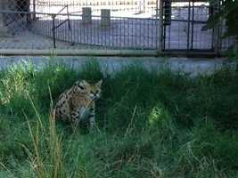 Keeping an African serval can be very challenging, because their nature is to attack or to flee, according to Dr. Jackie Gai, an exotic-animal veterinarian.