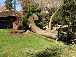 A toppled tree in Sacramento (Nov. 21, 2013)