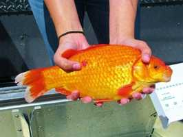 Researchers are finding a growing number of giant goldfish in Lake Tahoe, and questioning the ecological impact the fish could have on the lake. Christine Ngai, of the University of Nevada, Reno, was among the researchers who found the first goldfish during a survey of invasive fish in the lake. In this photo, she shows one of the fish caught in the lake.