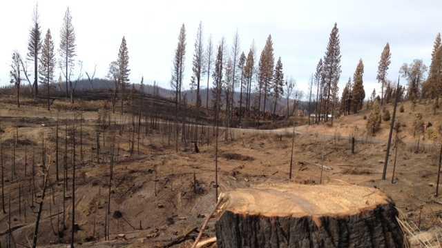 Rim fire timber.jpg