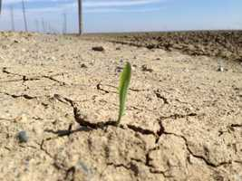 A tiny plant struggles to grow in the Central Valley.