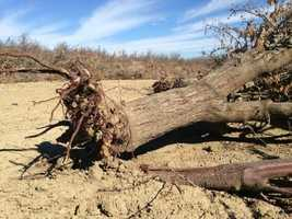 Almond trees in the Central Valley had to be pulled out of the ground because of the limited water in California.