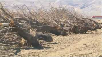 Almond trees were pulled out of the ground in the Central Valley because of the California drought.