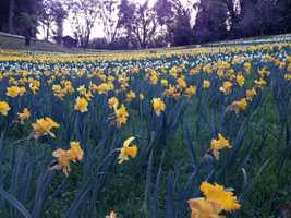 Daffodil Hill is located at 18310 Rams Horn Grade, Volcano, CA 95689.