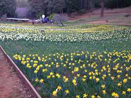 An average of 16,000 daffodil bulbs per year have been planted by the family.