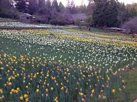 Owners say the daffodils are nearing their peak and should remain vibrant through the weekend of March 29.