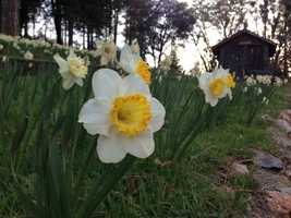 There are many varieties of daffodils planted across the hill side, varying in shape and color.
