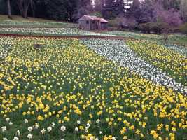 Daffodil Hill is a ranch owned by the McLaughlin family since 1887.