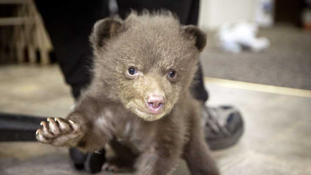 5-pound bear cub at the Lake Tahoe Wildlife Care (April 17, 2014)