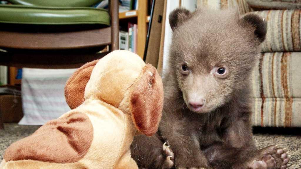 5-pound bear cub at the Lake Tahoe Wildlife Care (April 17, 2014)
