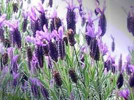 Relaxing scents -- One relaxing scent suggested by the UC Davis Medical Center is lavender.