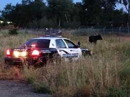 A feisty cow on the loose charged at several police and CHP officers Wednesday morning as they attempted to corral it and keep it off Highway 99 in Elk Grove.