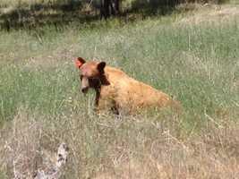 Authorities said the bear was not exhibiting any threatening behavior.