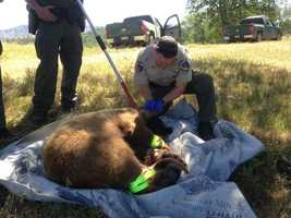 The bear was tranquilized in a backyard. The bear went down between five and 10 minutes.