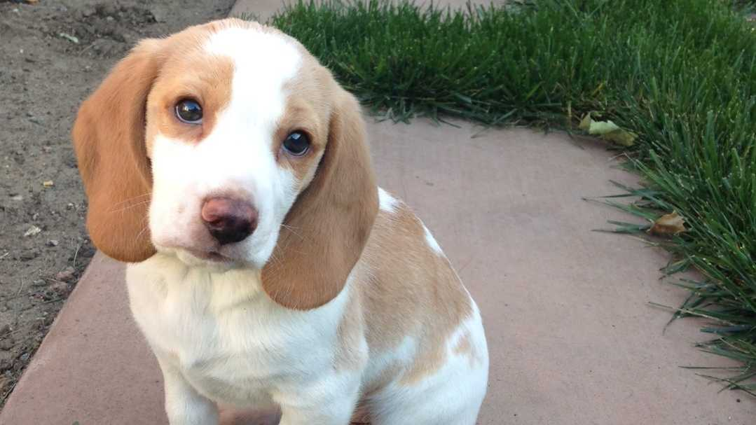 Charlie the beagle