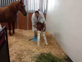 A newborn horse gets help as she wobbles inside the Loomis Basin Equine Center. She was born early Friday morning.