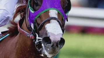 18. Questions were raised soon after the Preakness Stakes of whether California Chrome would be allowed to run in the Belmont Stakes because of a nasal strip he wears when he races. However, the state of New York approved the horse to wear the strip a few days later.