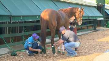 9. California Chrome has white hooves, which are often prone to developing problems. He originally wore glued-on horseshoes, but began to develop low heels in 2013. Now, he wears a style of horseshoe that is nailed to his foot, raising his heels and fixing the problem.
