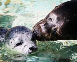14.) A female Pacific harbor seal pup was born early Saturday morning at #SixFlags in #Vallejo. This marks the first seal pup born at the park in eight years! Lily weighs 20 pounds. Here she is with her mother, Maile. #oceananimals #sealpup #bayarea #bayareanews #cuteanimals #seals #kisses #sealcove #SFarea #kcranews #kcra #sacramento #cutephotos @sixflagsdiscoverykingdom