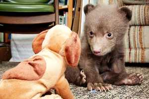 BONUS!This 5-pound bear cub -- yes, he's only 5 pounds! -- was dropped off at the doorstep of Lake Tahoe Wildlife Care, in Homewood. He's about 10 weeks old, and just learning how to walk. More details are inside our #kcra app!This adorable photo is courtesy Dan Thrift. #LakeTahoeWildlifeCare #LakeTahoe #TahoeNews #Tahoe #bear #5poundbear #Sacramento #cuteanimals
