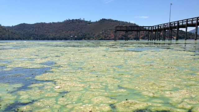 Algae covers the water near the southern tip of Clear Lake in Lake County.