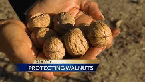 Protectingwalnuts.jpg