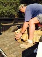 Abe the tortoise is rescued from the Sand Fire burning in Amador County. (July 27, 2014)
