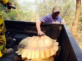 Fire crews battling the Sand Fire rescued a 200-pound tortoise named Abe on Saturday, (July 27, 2014)