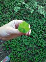 5.) I've searched far and wide for a four-leaf clover since I was a kid. I had almost given up hope that I would ever find one. Then, on a recent trip to Montgomery Woods to see the redwoods, I spotted one glistening in the sun. My search is complete! I have yet to win the lottery.