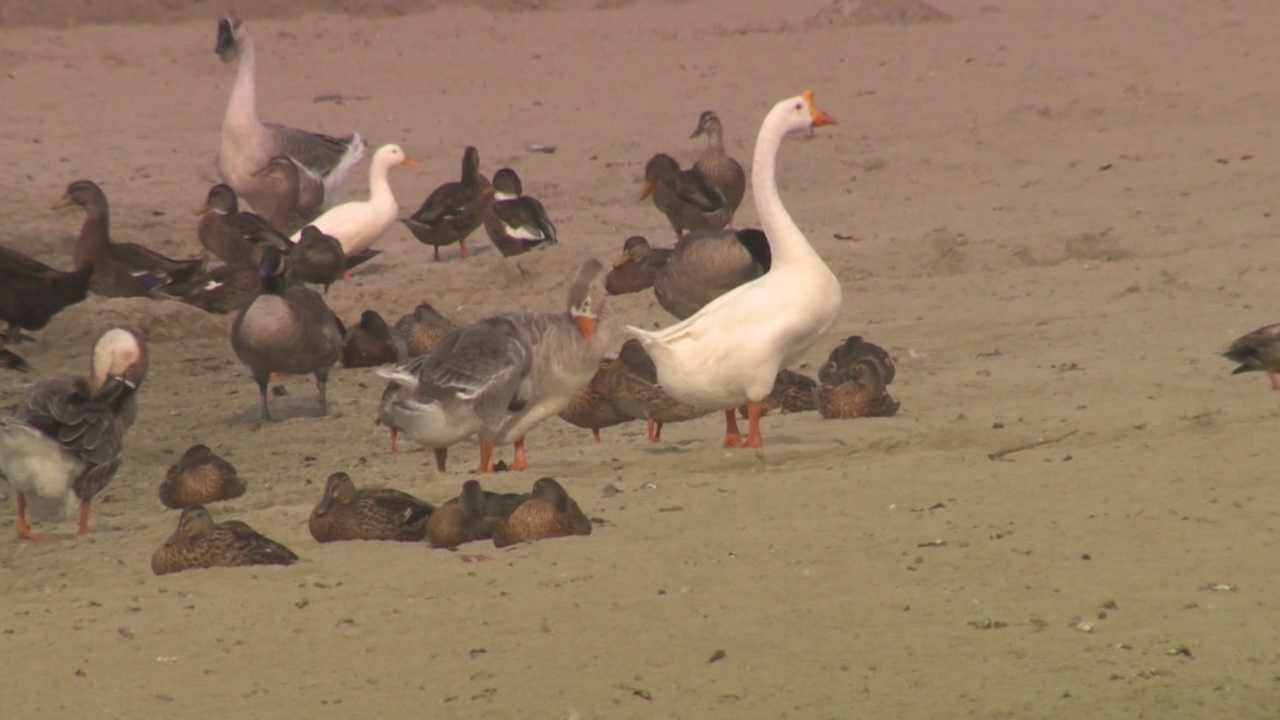 City of Lodi looks to clean up goose nuisance
