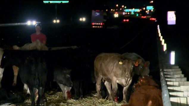 Injured Cows
