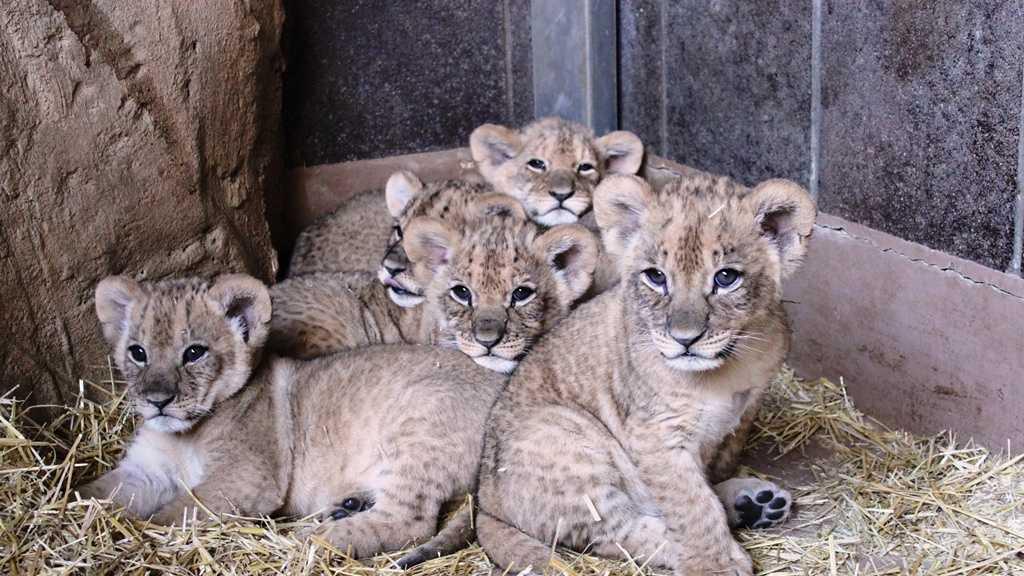 PHOTO: Lion cubs