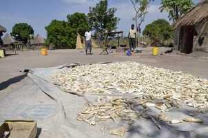 Casava drying to make into flour