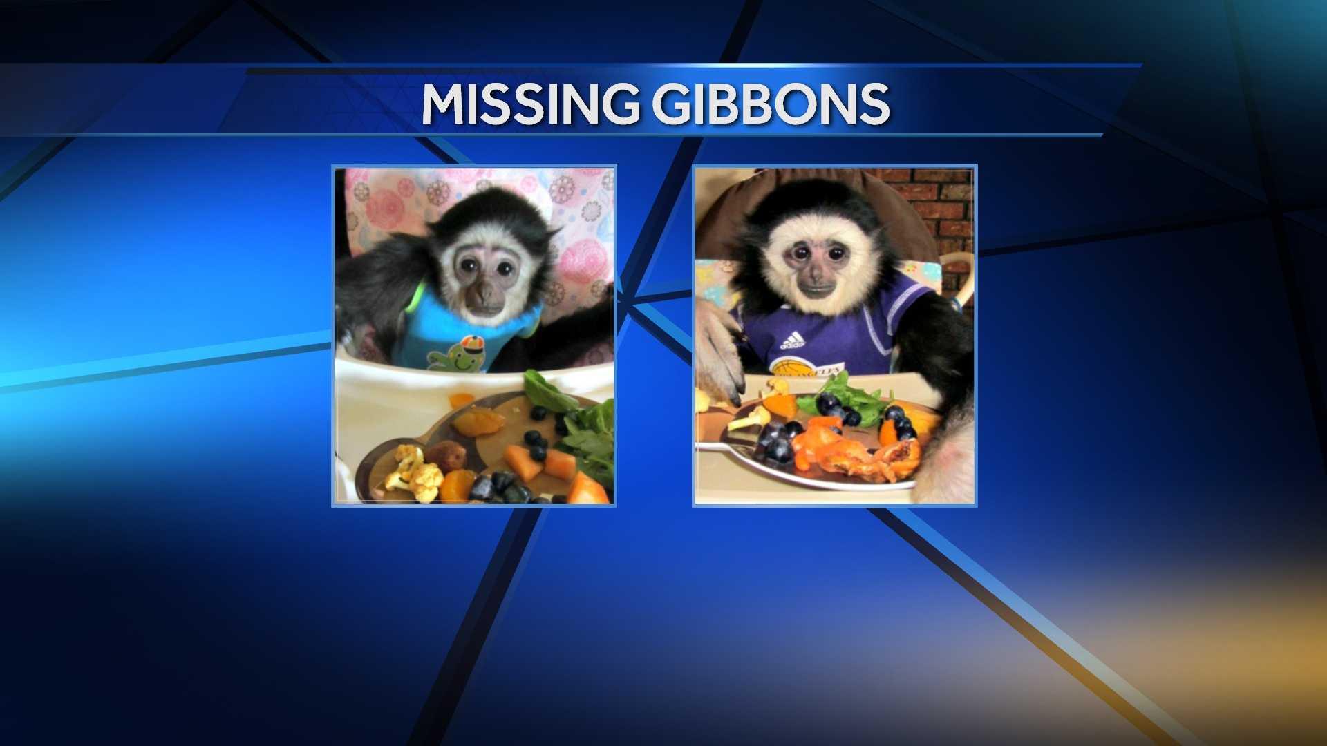 Missing gibbons