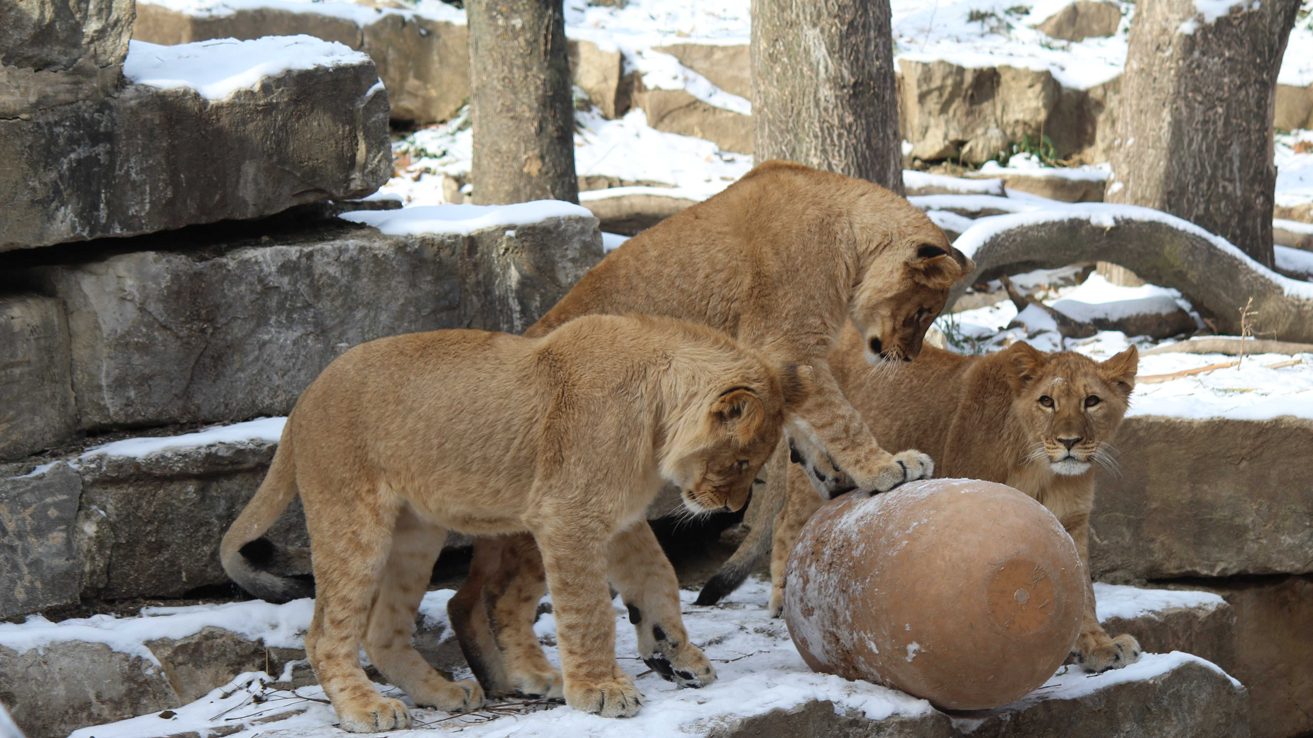 Lion cubs birthday