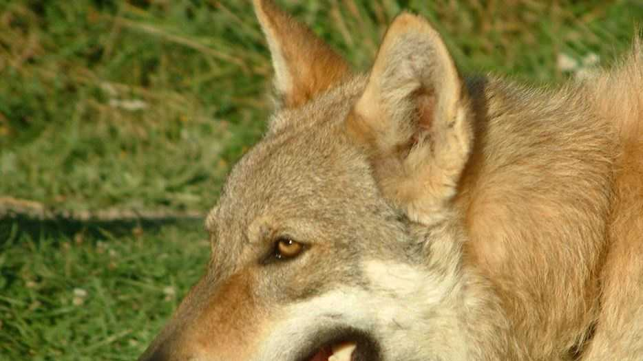 Czechoslovakian_Wolfdog_face.jpg