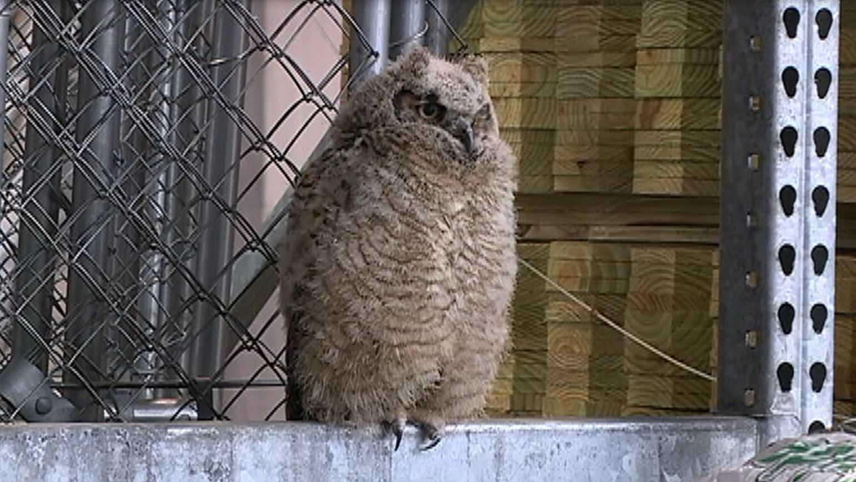 GH-owl.JPG