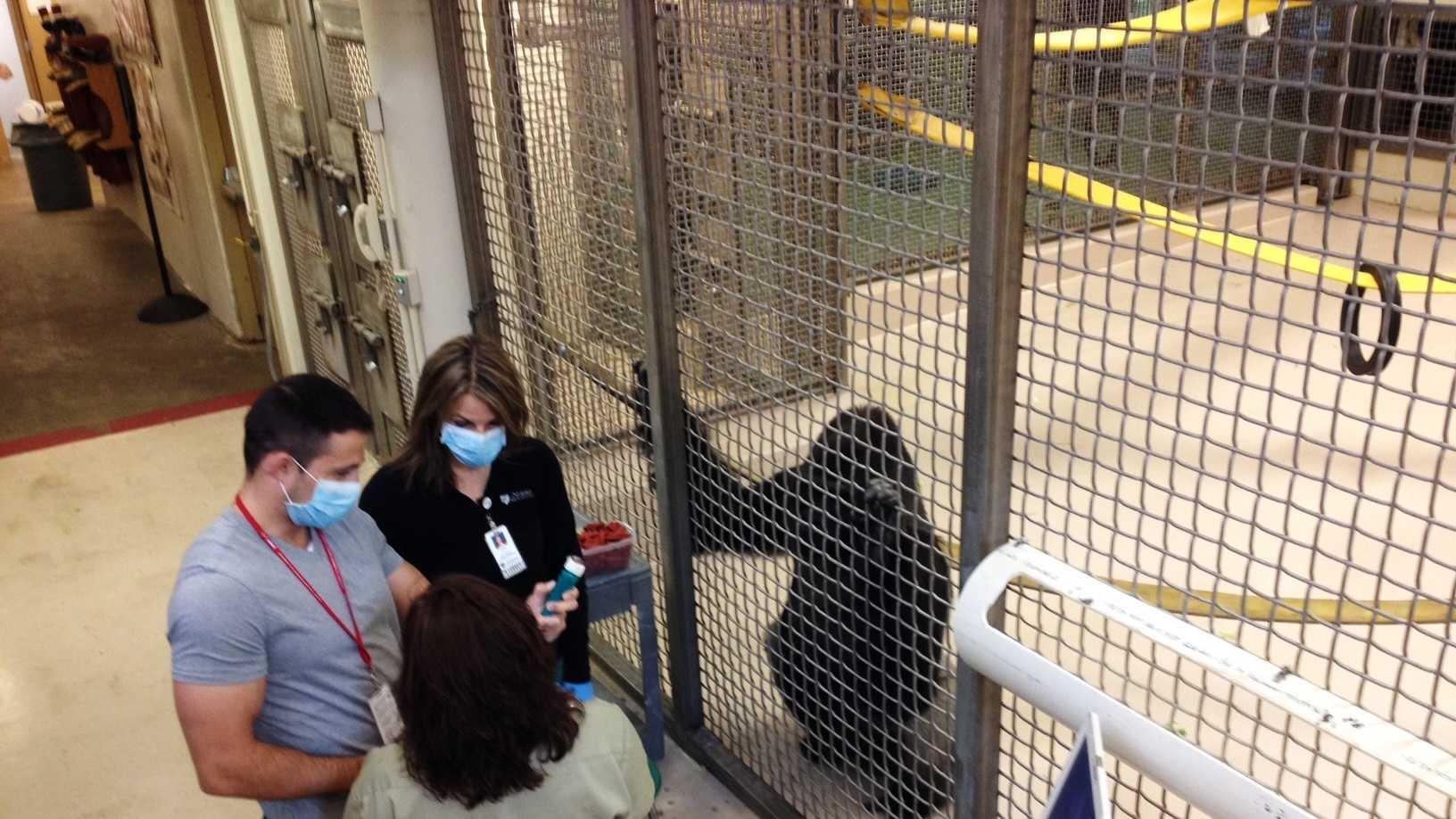 gorilla checkup