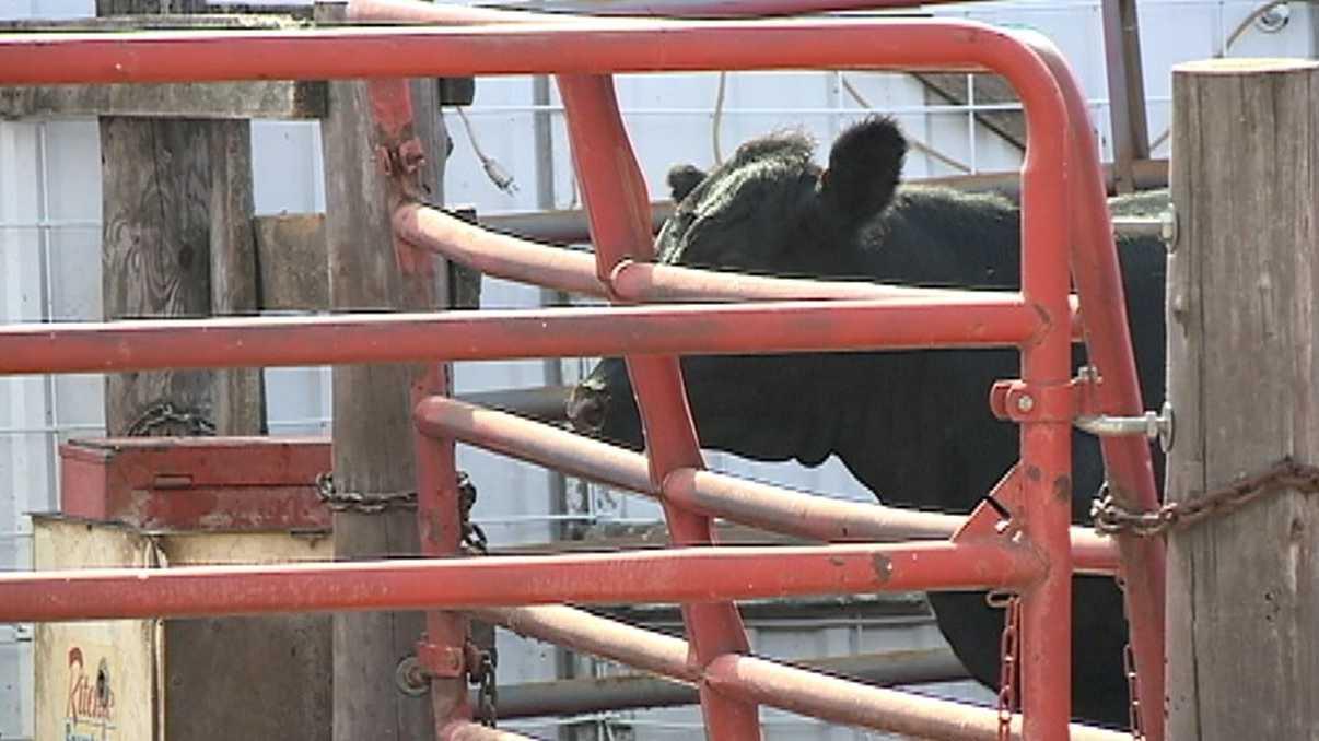 cow-vs-farm-hand.JPG