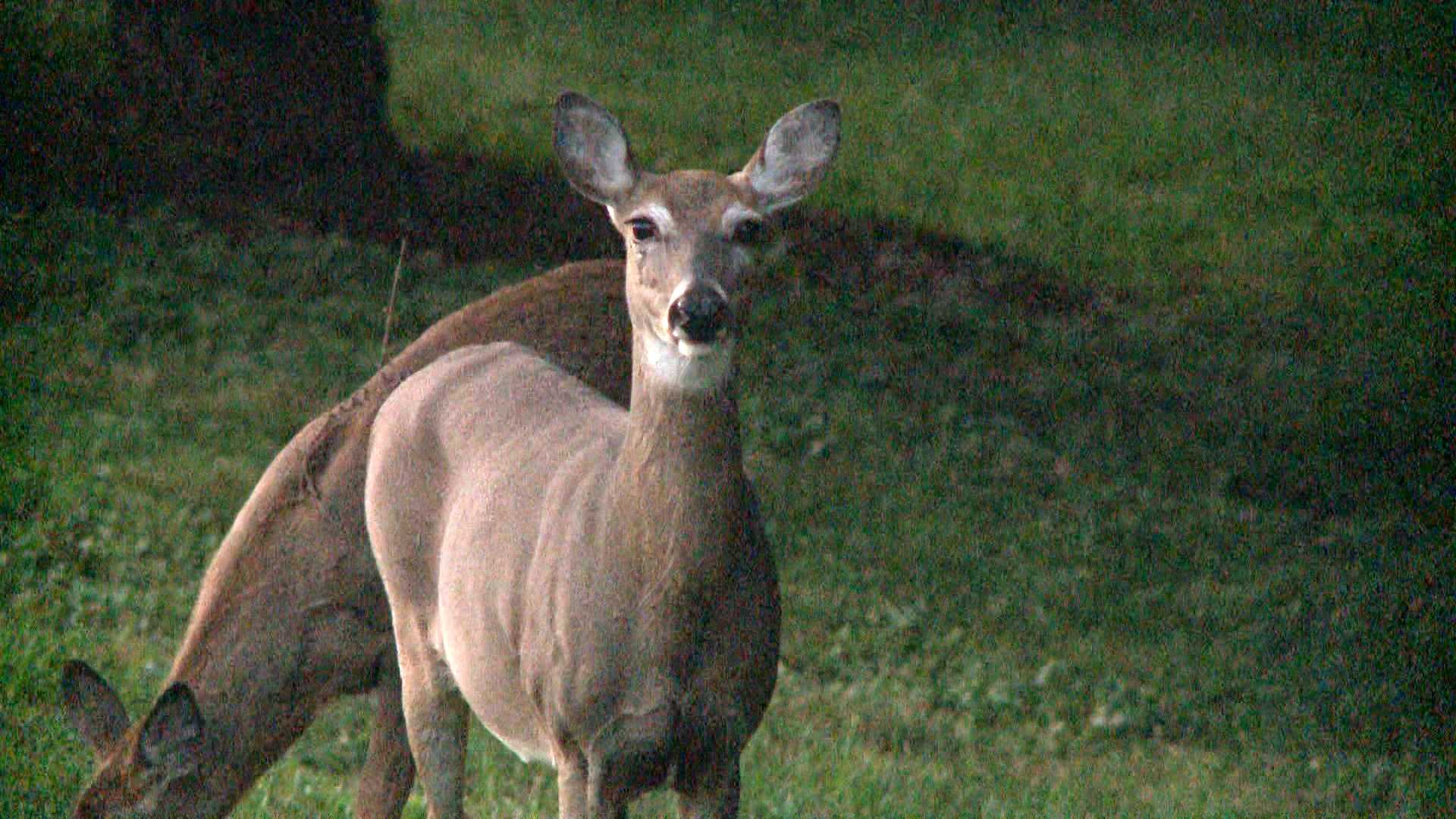KETV Harvest season prompts warning about cars colliding with deer.jpg