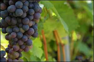 """The Grape Diet: this die requires you to only eat grapes and drink large amounts of water. The catch is, while on the diet, you can not drink water within an hour after eating grapes. According to buzzle.com this will """"dilute the strength of the natural chemicals in the grapes."""""""