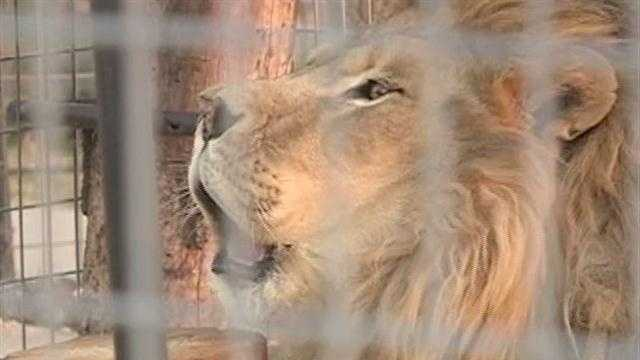 Mountainburg big cats move to new home at Turpentine Creek