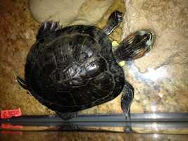 13. I've had the same turtle since 5th grade. His name is King Ferdinand, but we call him Ferdy. Turns out, they live a really, really, really long time.