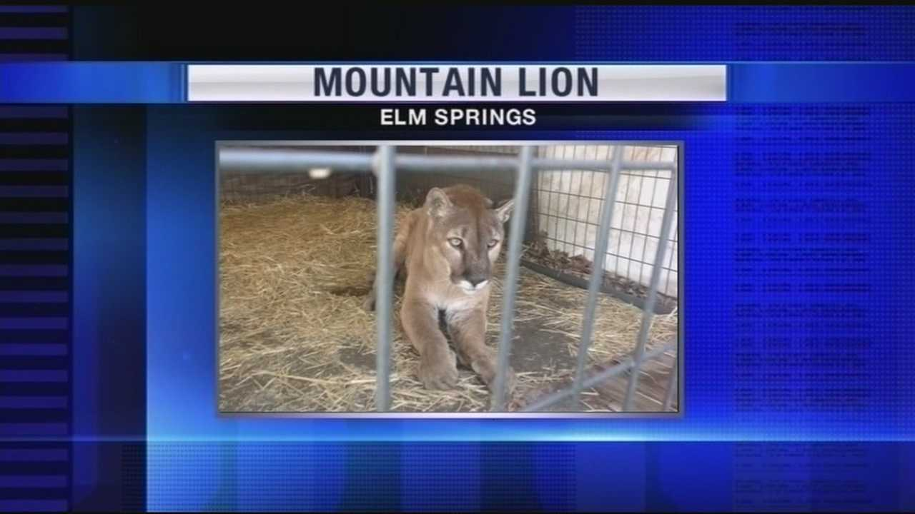 Local family's pet mountain lion causes controversy, forcing the animal to be relocated.