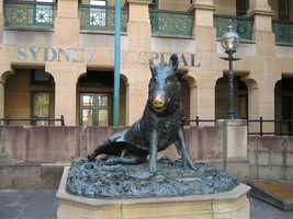 This razorback sits outside Sydney Hospital in Australia.
